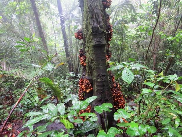 Ficus leptogramma Crocker Range 08 .JPG