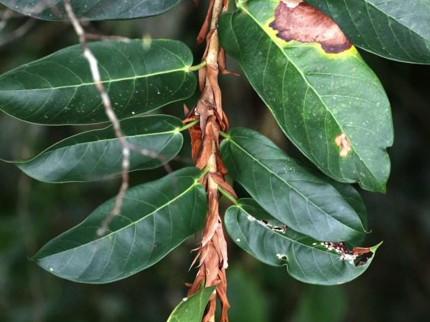 Ficus paracamptophylla05 .JPG