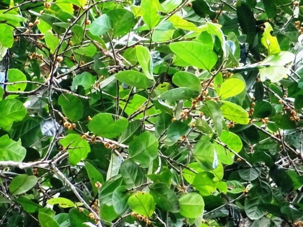 Ficus pisocarpa  Miyabi Nakabayasi  01.JPG