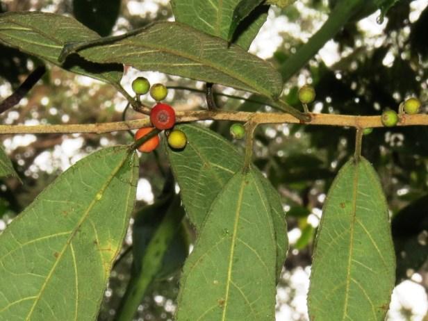 Ficus setiflora Gunung Alab 03