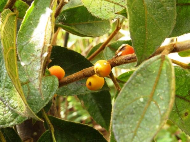 Ficus setiflora Long Pasia 03 .JPG