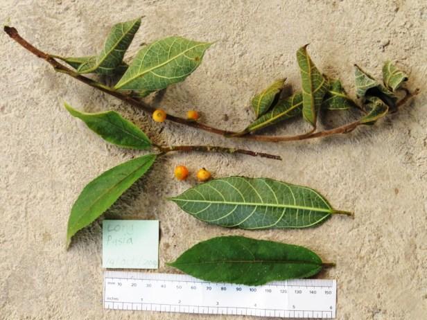 Ficus setiflora Long Pasia 04 .JPG