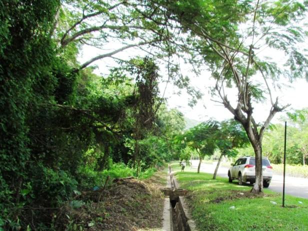 Ficus variegata Nexus Resort  01  .jpg