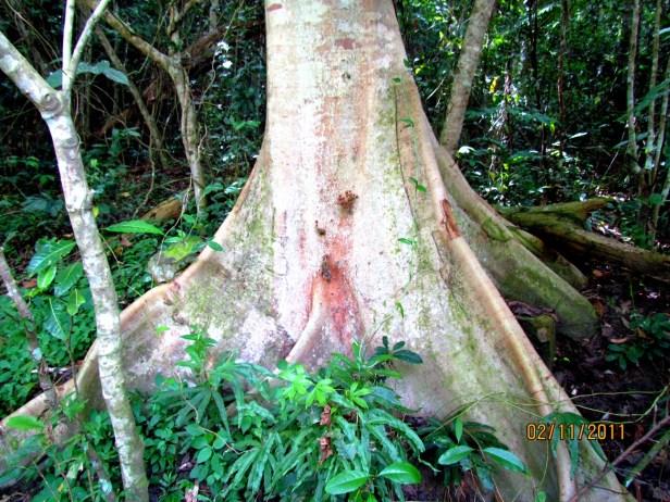 Ficus variegata Nexus Resort  02  .JPG