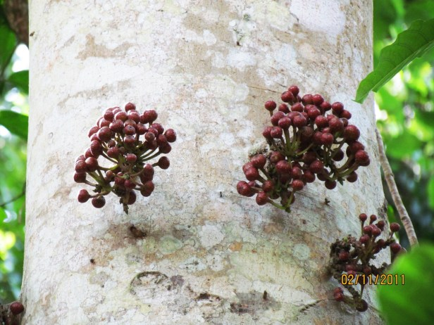 Ficus variegata Nexus Resort  04  .JPG