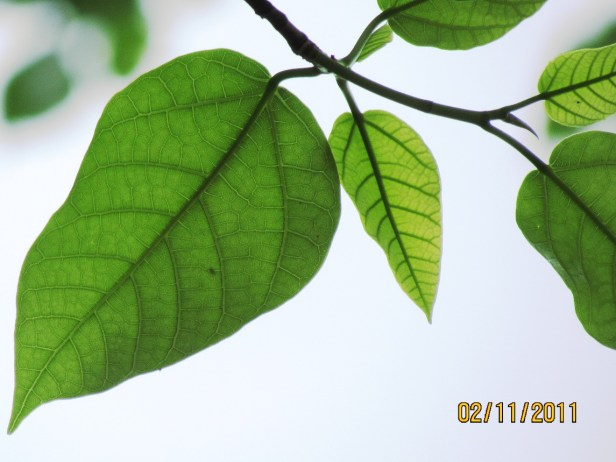 Ficus variegata Nexus Resort  05  .JPG