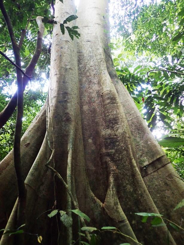 01 Ficus albipila,  Nature Trail. Kawag Dec. 2017. AP (359).JPG