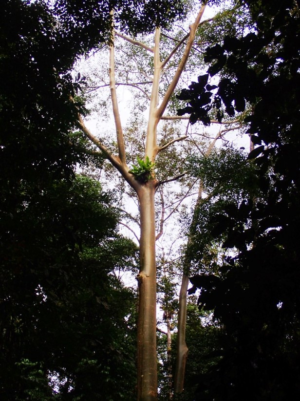 02 Ficus albipila,  Nature Trail. Kawag Dec. 2017. AP (177).JPG