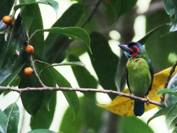 Blue-eared Barbet male IMG_0290.JPG
