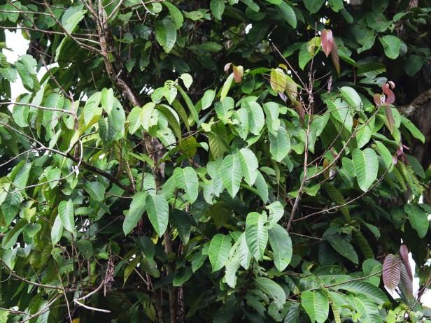 Ficus annulata 3Y3A1521.JPG