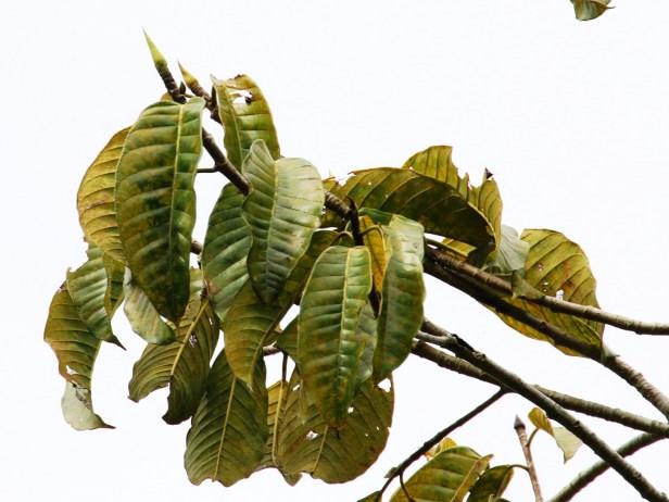 Ficus annulata 3Y3A1572.JPG