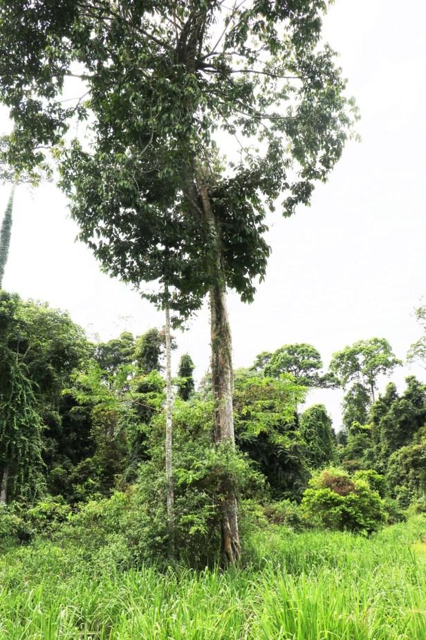 Ficus annulata IMG_0322