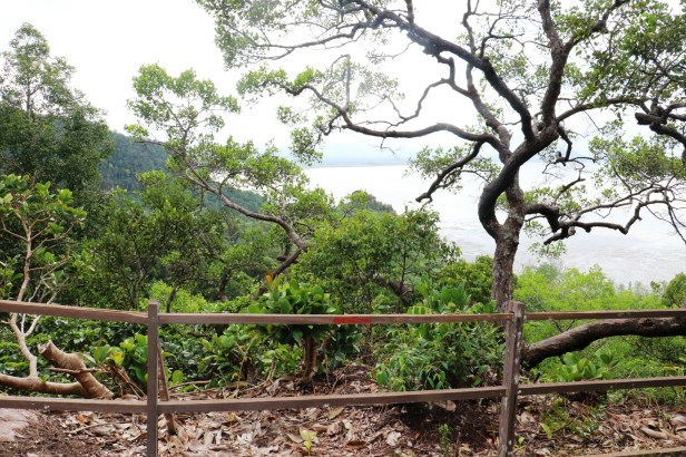 Ficus benghalensis IMG_2797.JPG