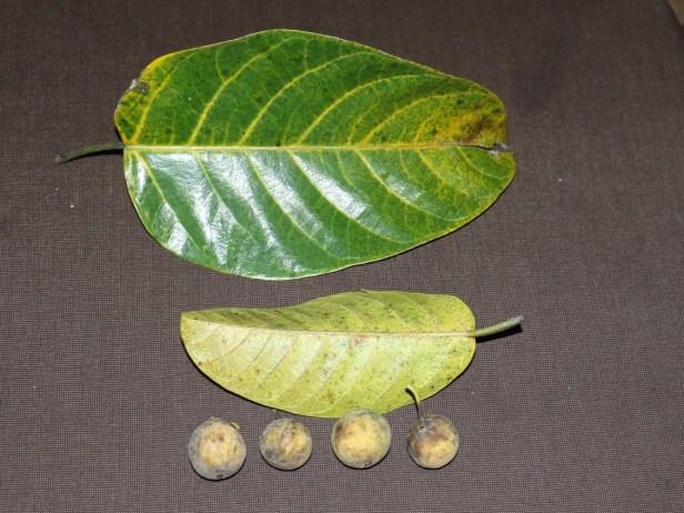 Ficus callosa 03.JPG