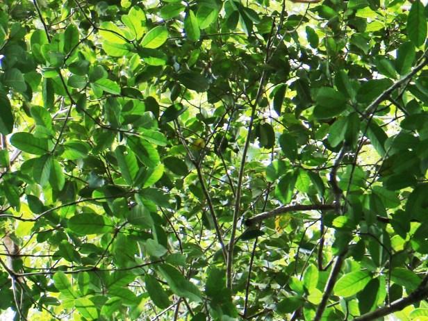 Ficus cucurbitina IMG_0436.JPG