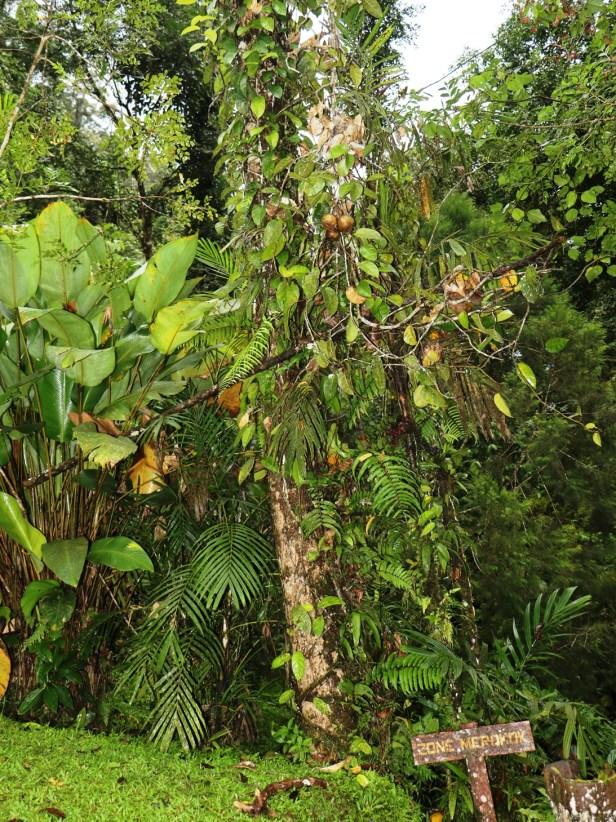 Ficus densechini Sayap 01