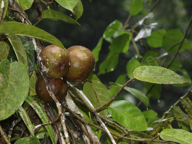 Ficus densechini Sayap 02 .JPG