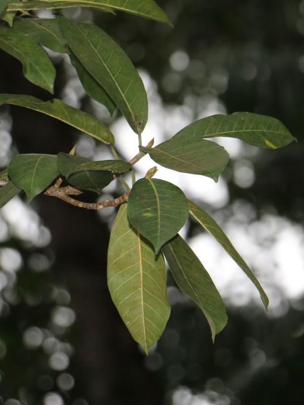 Ficus drupacea Rasa Ria resort 01 .JPG