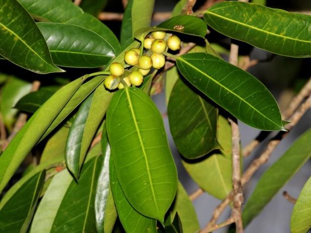 Ficus drupacea  .JPG
