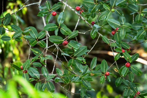 Ficus dubia 01 IMG_8750 (1).jpg