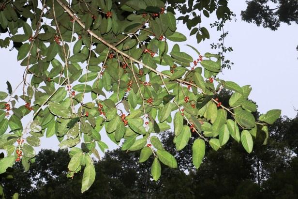 Ficus forstenii 06 3Y3A1748.JPG