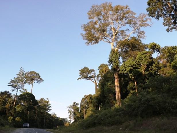 Ficus kerkhovenii Maliau 3Y3A2269