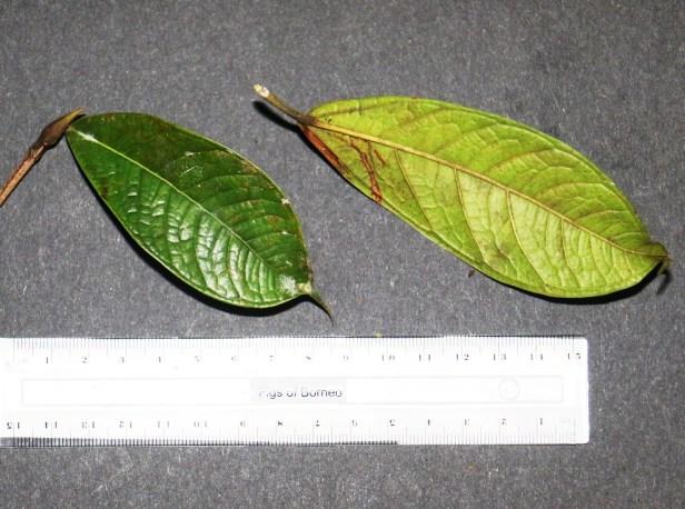 Ficus kochummeniana 02 .JPG