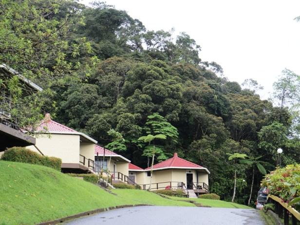 Ficus macilenta 03 IMG_0647.JPG
