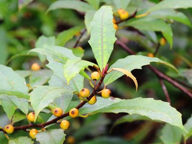 Ficus macilenta 3Y3A4364.JPG