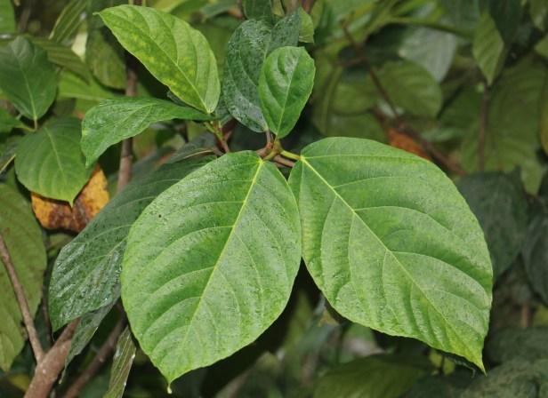Ficus satterthwaitei 01 IMG_0004.JPG