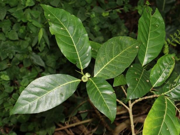 Ficus septica IMG_0275.JPG