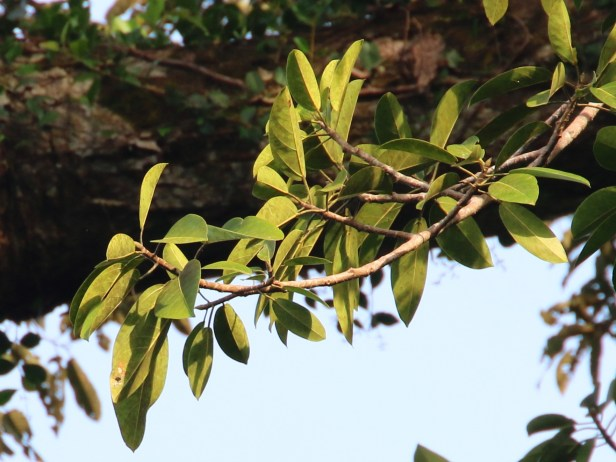 Ficus stupenda 06 IMG_1361