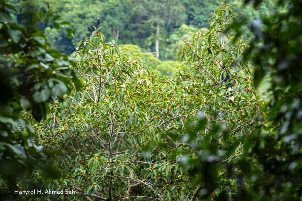 Ficus stupenda IMG_5419 - Copy.jpg