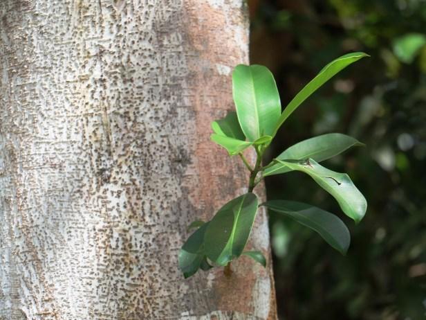 Ficus subcordata IMG_2203.JPG