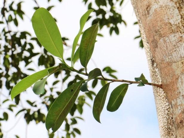 Ficus subcordata IMG_2207.JPG