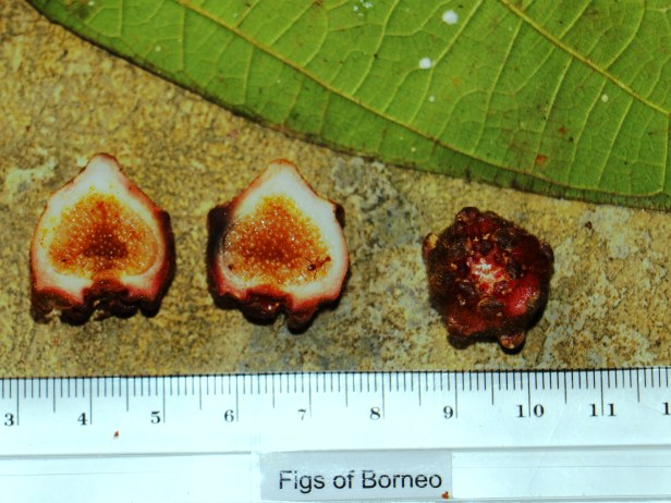 Ficus uncinata IMG_1279.JPG