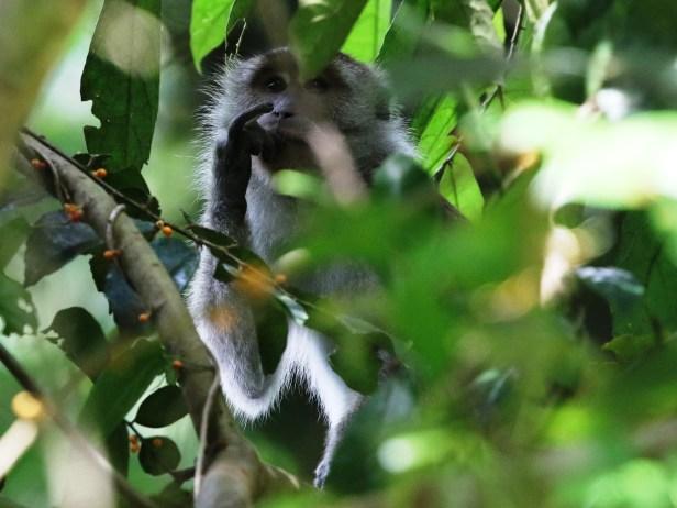Arlene Long-tailed Macaque.JPG