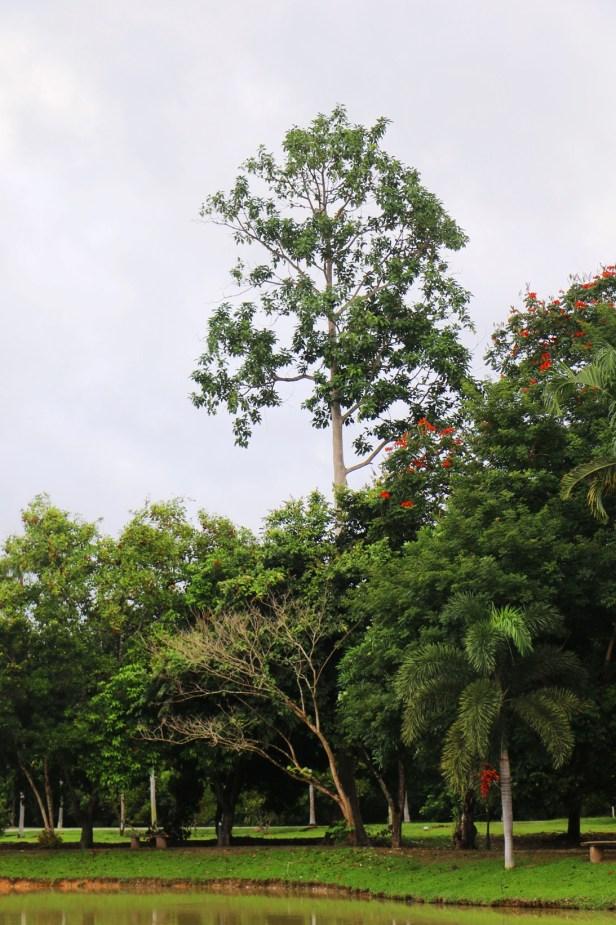 Ficus callosa Tenom IMG_1535