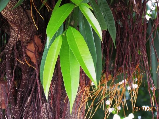 Ficus celebensis IMG_8234.JPG
