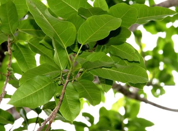 Ficus concinna IMG_9639.jpg