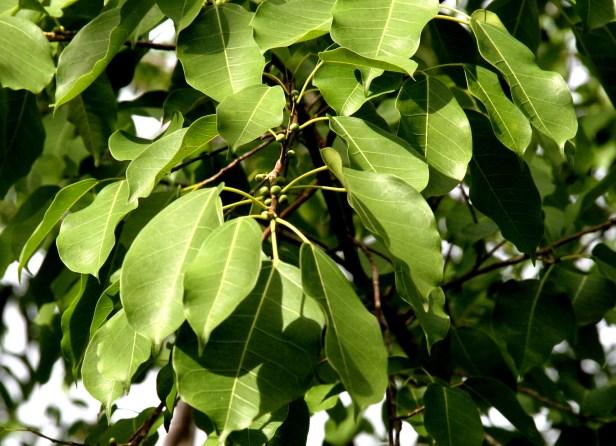 Ficus concinna IMG_9643