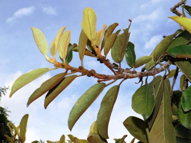 Ficus consociata oIMG_0287