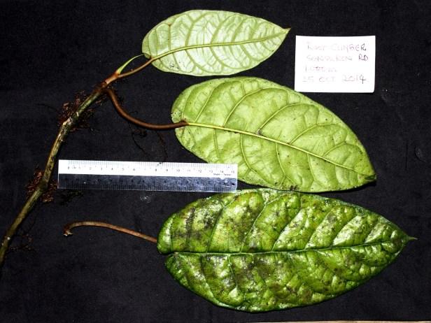 Ficus densechini IMG_3507.JPG