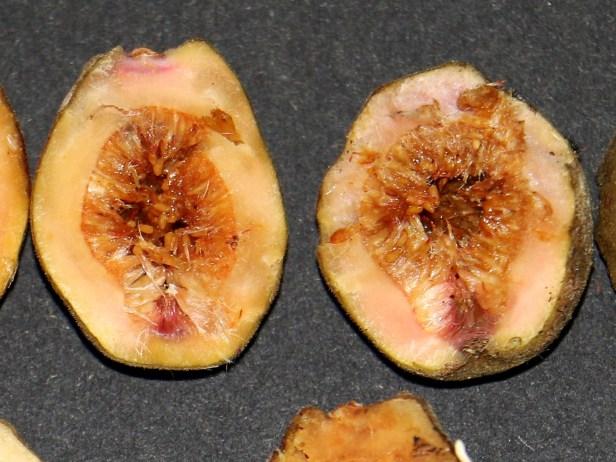 Ficus endospermifolia IMG_0506 - Copy.JPG