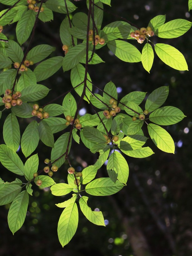 Ficus lumutana IMG_0736