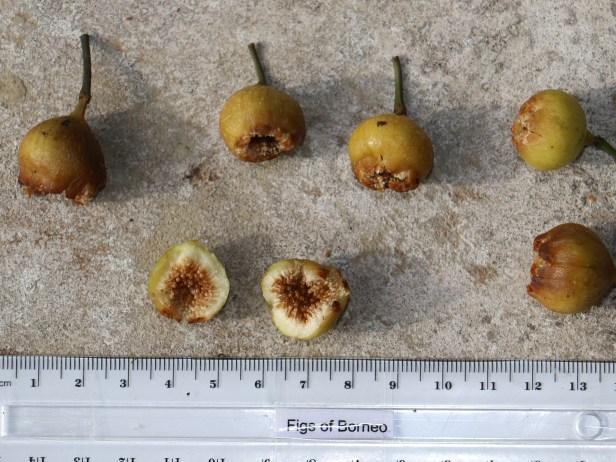 Ficus lumutana IMG_0782 - Copy.JPG