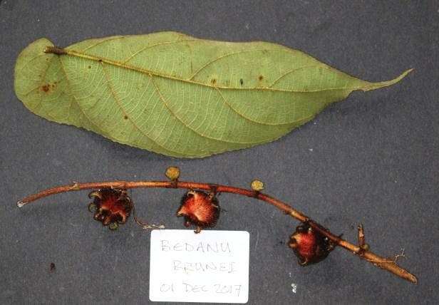 Ficus malayana 3Y3A0411.JPG
