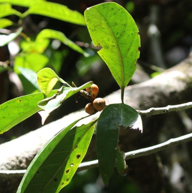Ficus pisocarpa 0C7A3719 (2).JPG