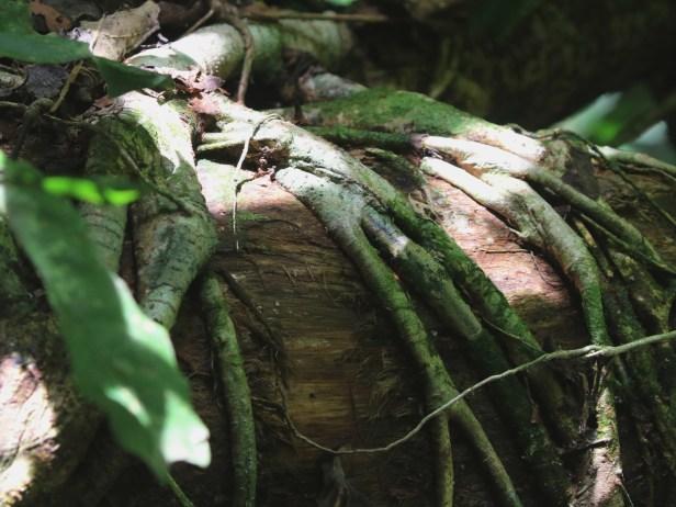 Ficus pisocarpa 0C7A3721.JPG