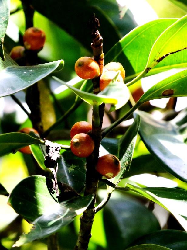 Ficus pisocarpa 0C7A3726.JPG